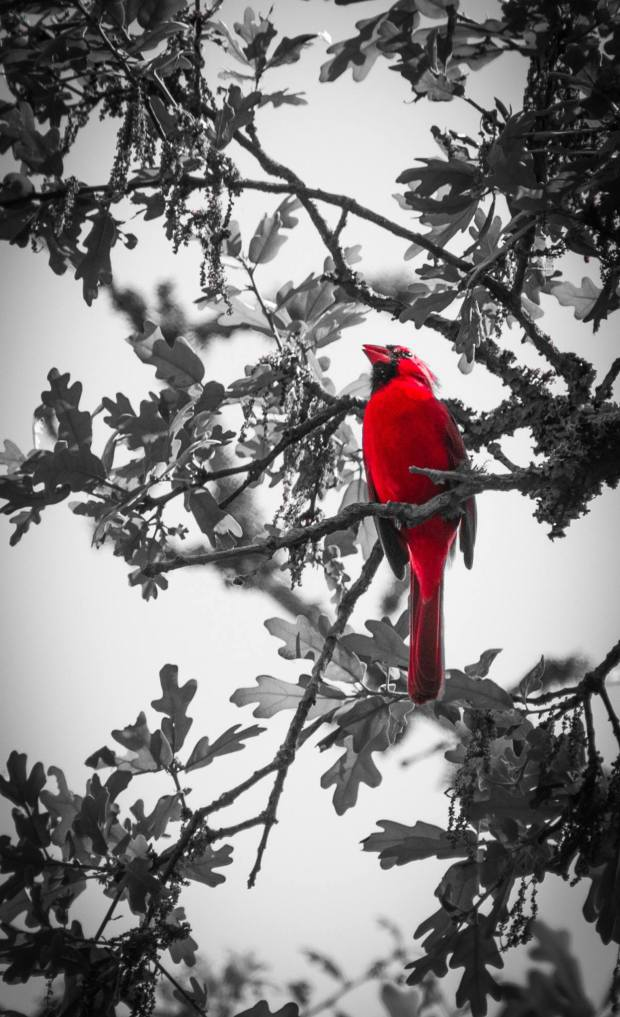 _Red Cardinal_
